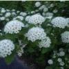 Пузыреплодник (размножение, посадка и уход) - описание, полезные свойства, применение