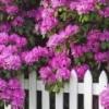 Рододендрон (посадка и уход) - описание, полезные свойства, применение