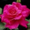 Роза крымская – описание, полезные свойства, применение