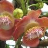 Сандаловое дерево - описание, полезные свойства, применение