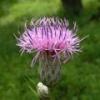 Серпуха (трава) - описание, полезные свойства, применение