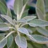 Шалфей, лечебные свойства и противопоказания