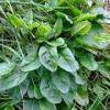 Щавель кислый – описание, полезные свойства, применение