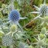 Синеголовник плосколистный, полевой - описание, полезные свойства, применение