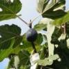 Смоковница (растение) - описание, полезные свойства, применение