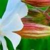 Смолевка обыкновенная - описание, полезные свойства, применение