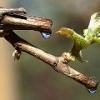 Сок виноградной лозы (пасока): полезные свойства, применение, рецепты