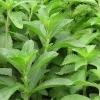 Стевия, или медовая трава - описание, полезные свойства, применение