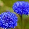 Василек синий - описание, полезные свойства, применение