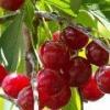 Вишня кустарниковая - описание, полезные свойства, применение