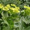 Володушка (трава) - описание, лечебные свойства, применение