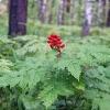 Воронец (растение) - описание, лечебные свойства, применение