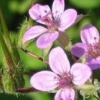 Журавельник (растение) - описание, лечебные свойства, применение