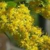 Золотарник обыкновенный или золотая розга - описание, применение, лечебные свойства